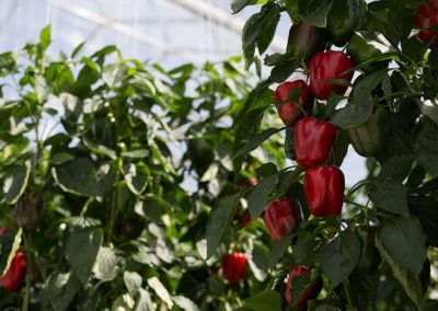 Sweet bell peppers in Dutch greenhouse