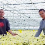 Chrysanthemum nursery ends up being guinea pig for diffuse glass