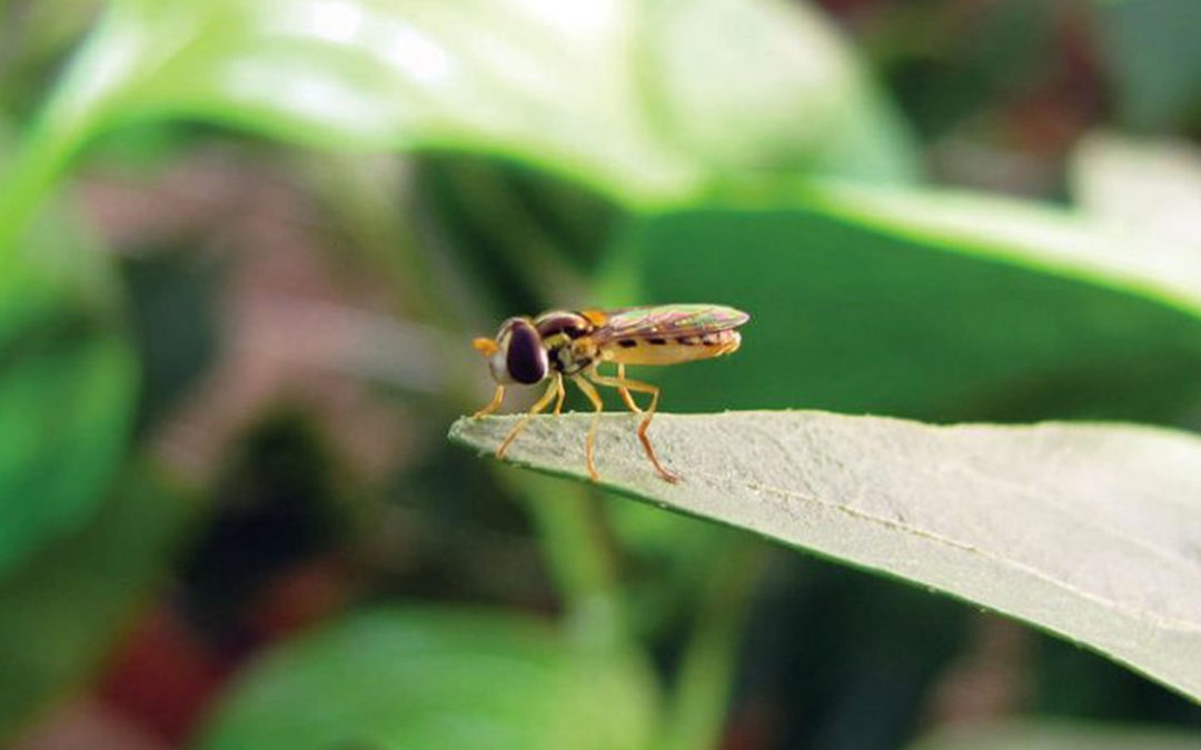 Biobest develops new weapon in the war against aphids