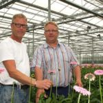 Less energy input yields as many or more gerberas