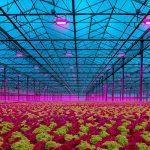 Lemnis Oreon LED lighting in lettuce greenhouse