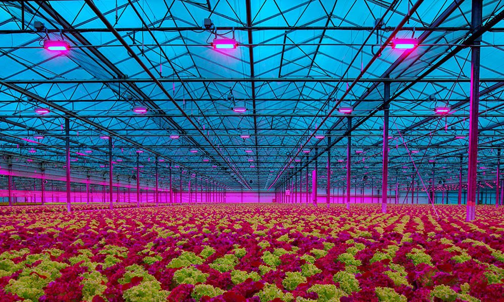 Lemnis Oreon LED lighting in lettuce greenhouse