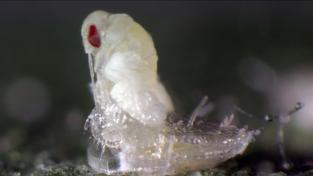 Koppert Biological Systems is introducing videos featuring the most prevalent pests and their natural enemies in the lead roles.