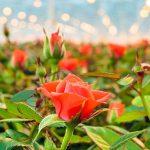 roos in kas met belichting