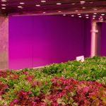 Slateelt onder LED in vertical farm
