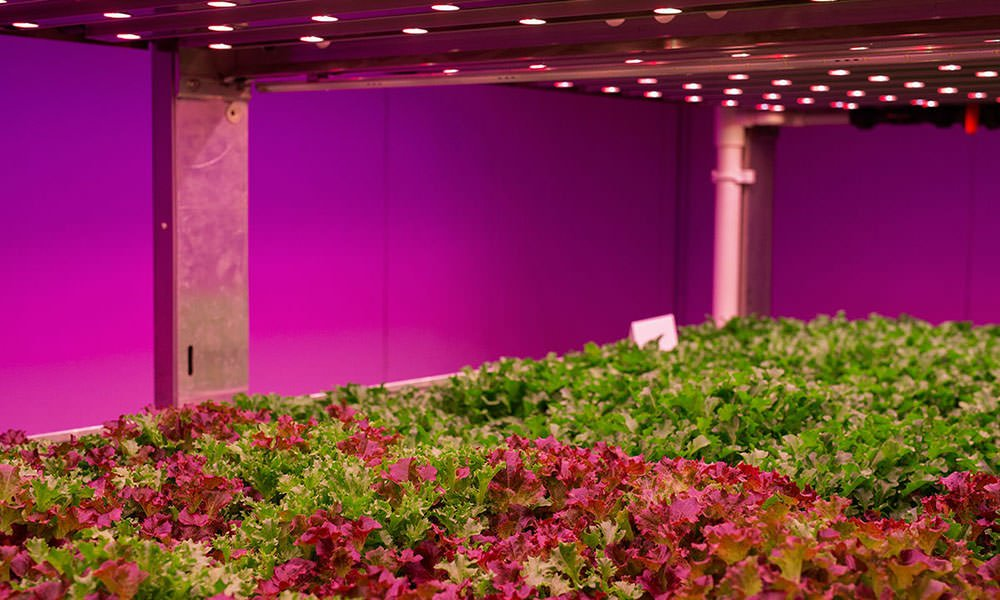 Slateelt onder LED in vertical farm