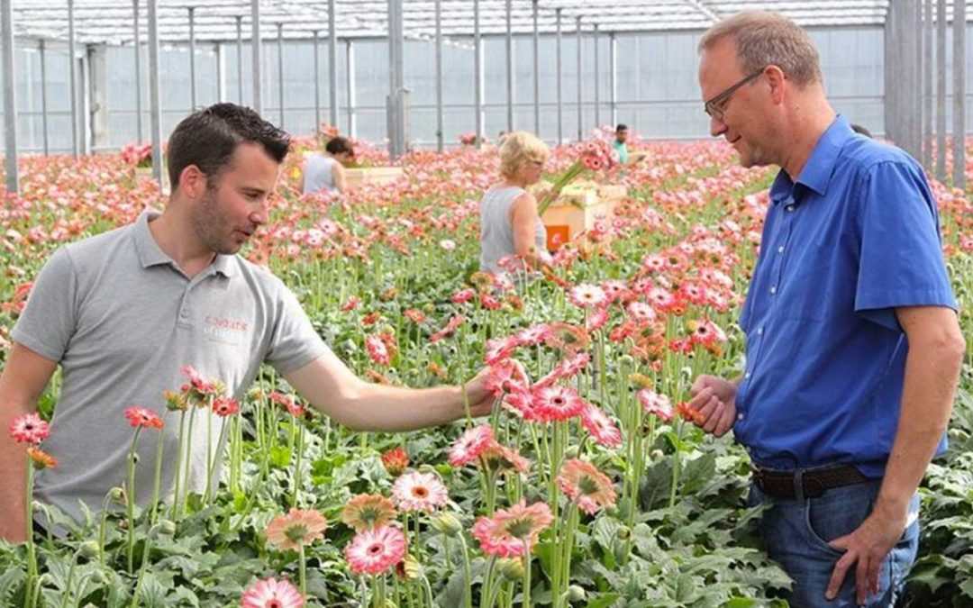Diffuse screen results in more generative gerbera crop