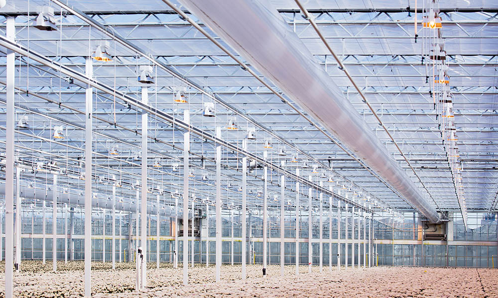 Chrysanthemum growers Arcadia and Van Uffelen are going to use The New Cultivation at their nurseries in De Lier and Maasland.