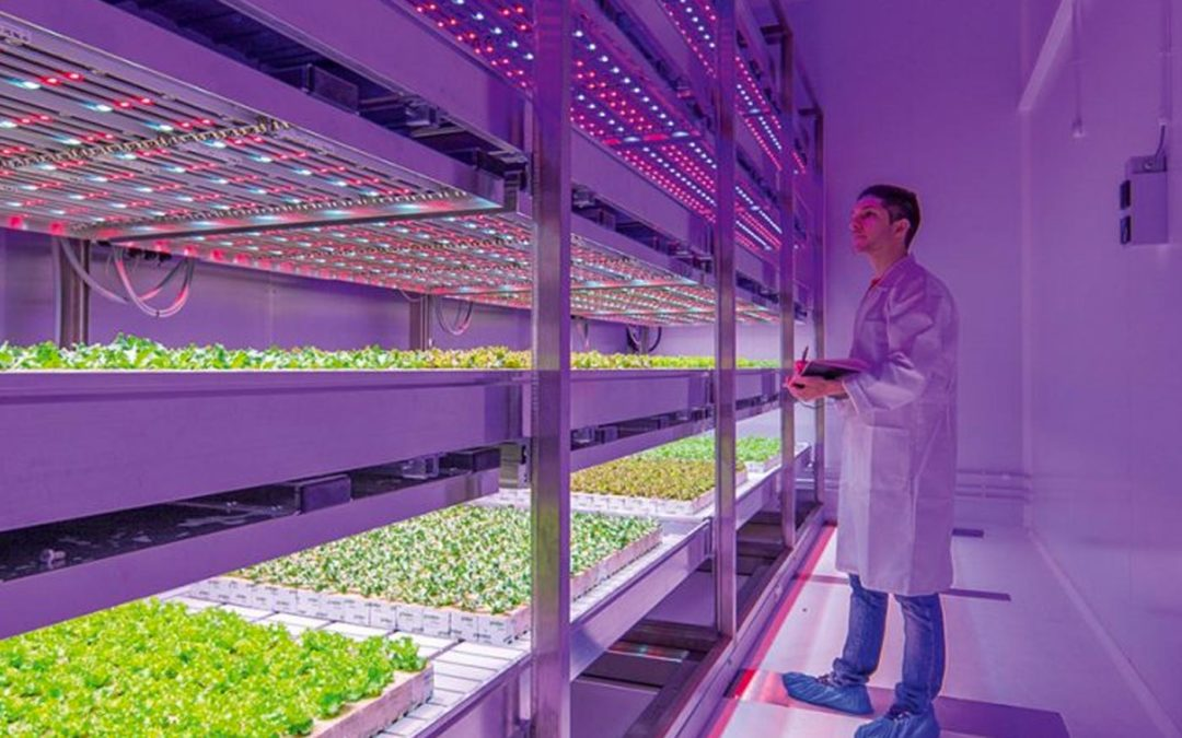 Heavy lettuce with low nitrate level even without daylight