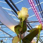 Use of LEDs has potential to save energy and increase yield