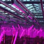 Trials show far-red light leads to large rise in tomato production