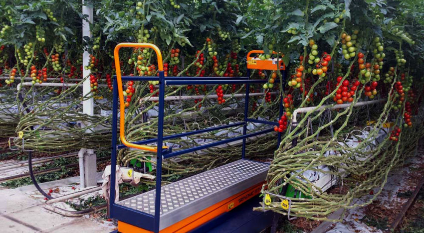 Plantalyzer works as automatic counting system for tomatoes in greenhouses
