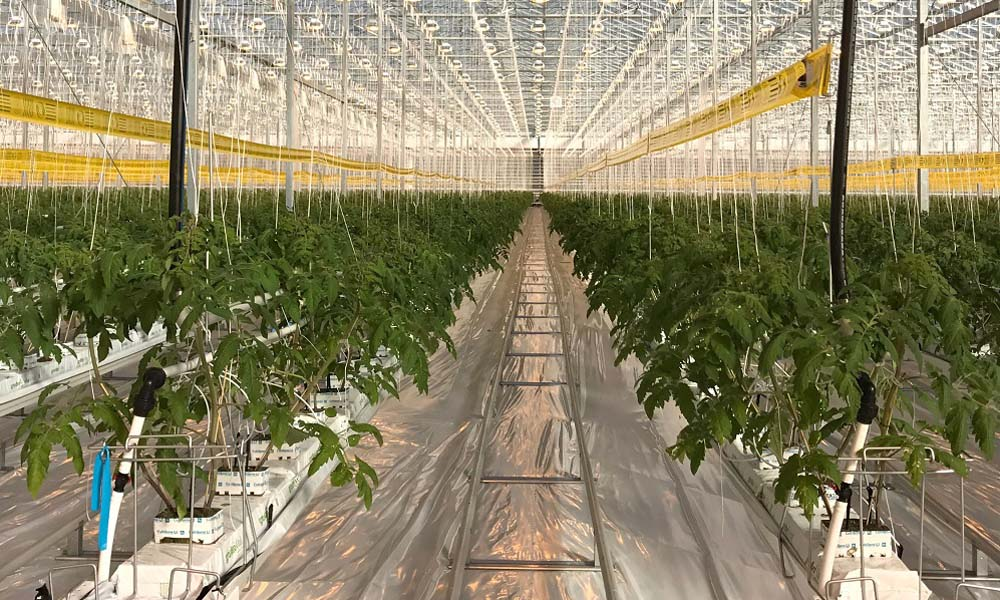 Pioneering climate control solution in tomato greenhouse