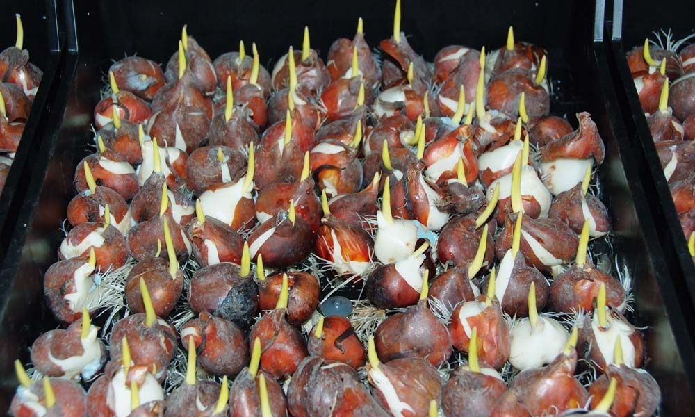 The Greenhouse Horticulture and Bulbs, Trees and Fruit business units are launching an Evergreen project to carry out research into bulb production