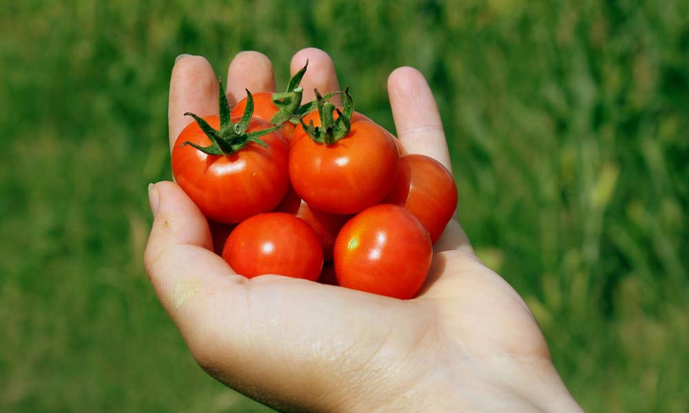 Special packaging material keeps tomatoes fresh for 30 days