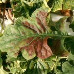 Magnesium deficiency in gerbera appears as red discolouration.