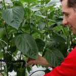 Measuring fruit temperature at the Moors sweet pepper nursery in Someren. A simple infrared sensor does the job.