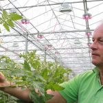Tomato grower Geert Koot from Dutch tomato nursery Gebroeders Koot