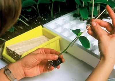 Propagation via grafting and cuttings has big impact on plants