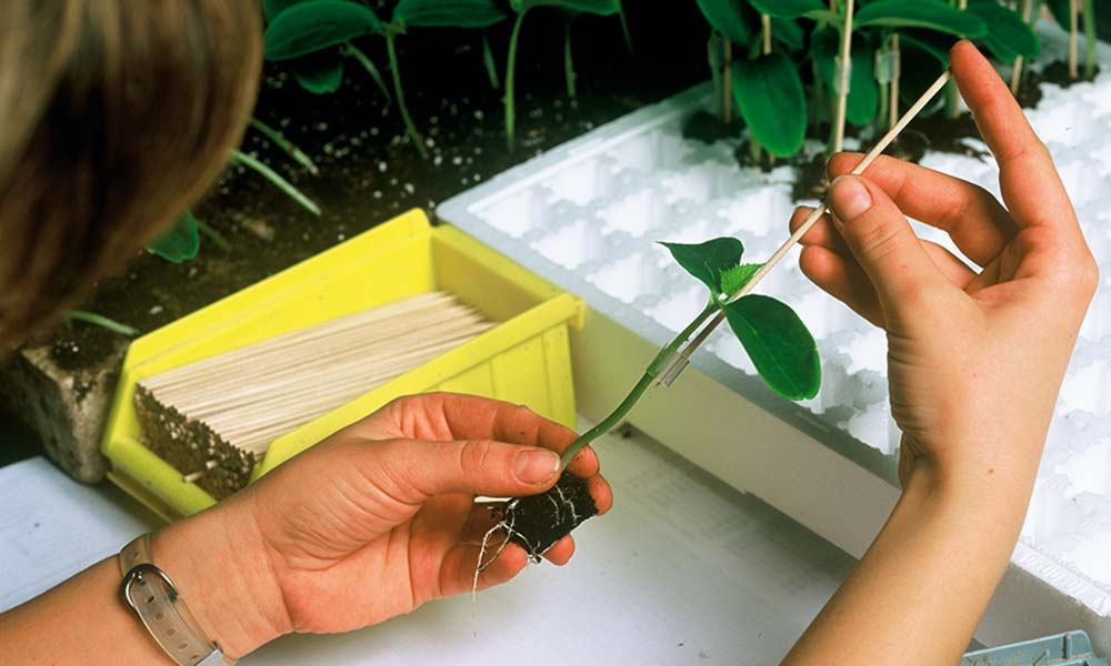 Propagation via grafting and cuttings has big impact on plants