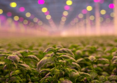 'We aim to grow the best basil in Europe'
