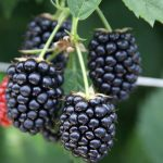 Research sheds new light on raspberries and blackberries